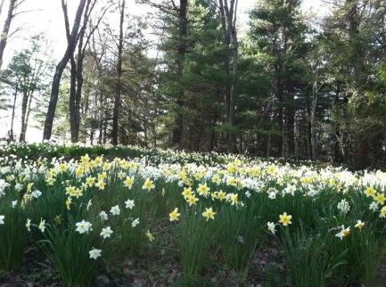 daffodifield