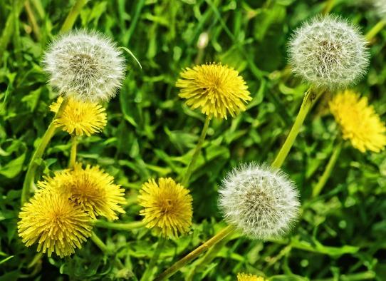 plant-lawn-meadow-dandelion-prairie-flower-1256189-pxhere.com